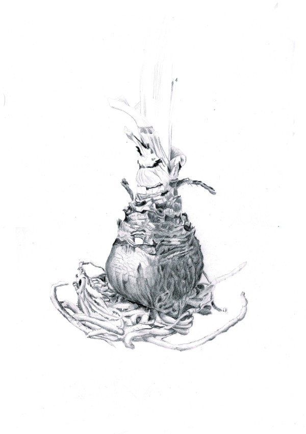 Amaryllis bulb by Audrey Reilly