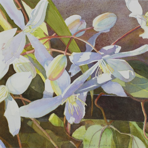 Evergreen Clematis I by Judith Glover
