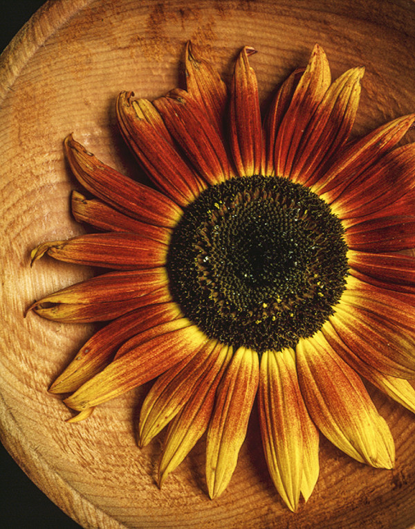 Sunflower with Cherry Bowl by Bernard C. Meyers