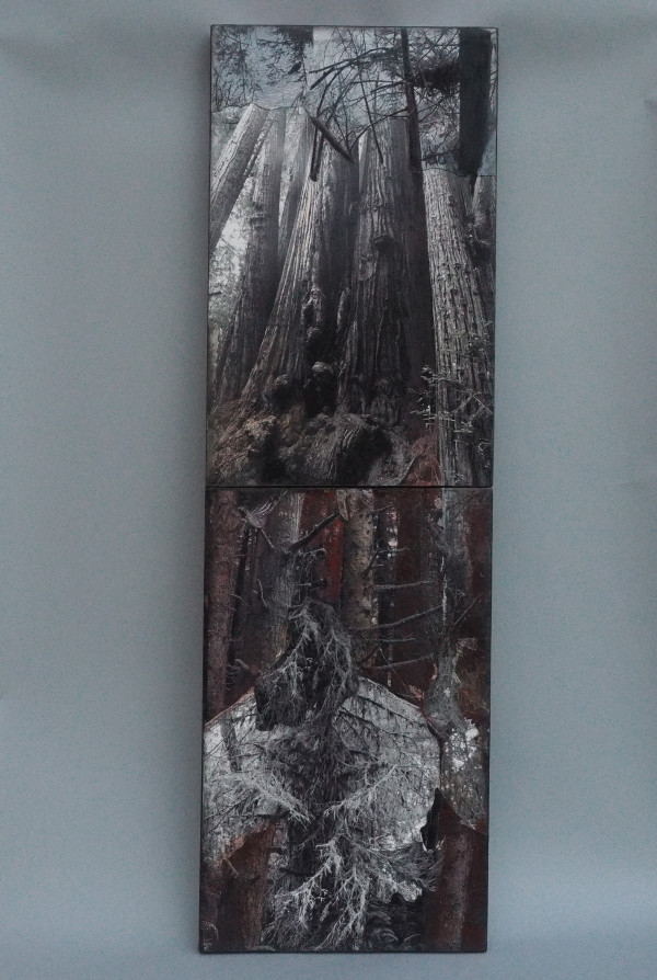 In the Presence of Giants (Sequoia Sempervirens) by Lynda Frese