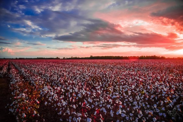 Cotton Field Sunset by Bach Prados