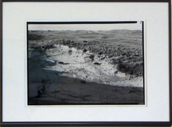 Cattle in Blowout, west of Alliance, NE, 1992 by Bill Ganzel