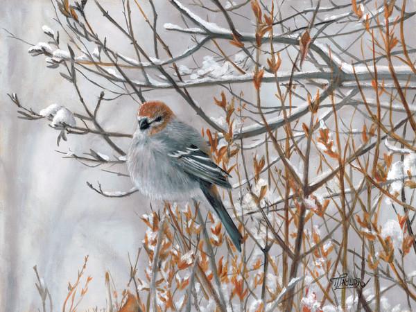 Pine Grosbeak by Tammy Taylor