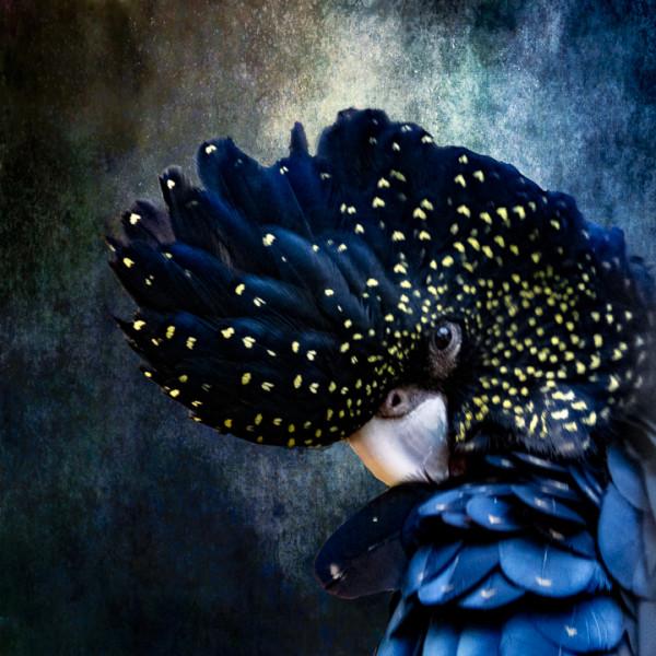 "7th Place - Christina Brunton - ""Speckled Black Cockatoo Blue"" - www.christinabrunton.com by Christina Brunton"