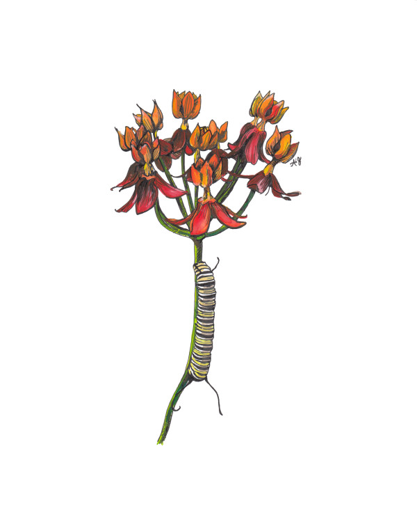 Monarch Caterpillar on Milkweed by Anna Iris Graham