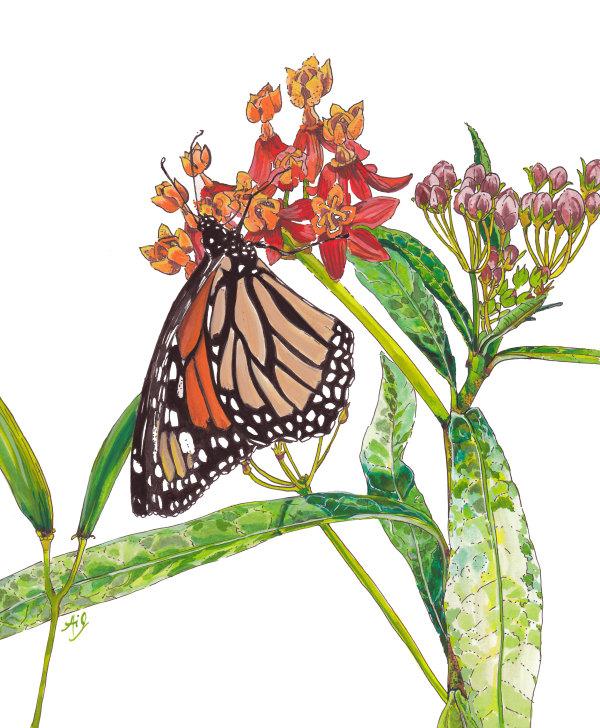 Monarch on Milkweed by Anna Iris Graham