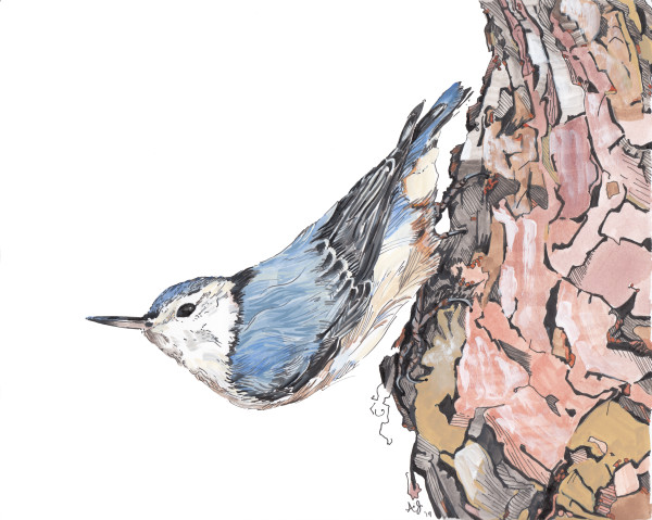 White Breasted Nuthatch by Anna Iris Graham