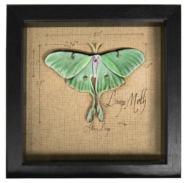 Luna Moth Shadow Box (Framed) by Rick  Nass