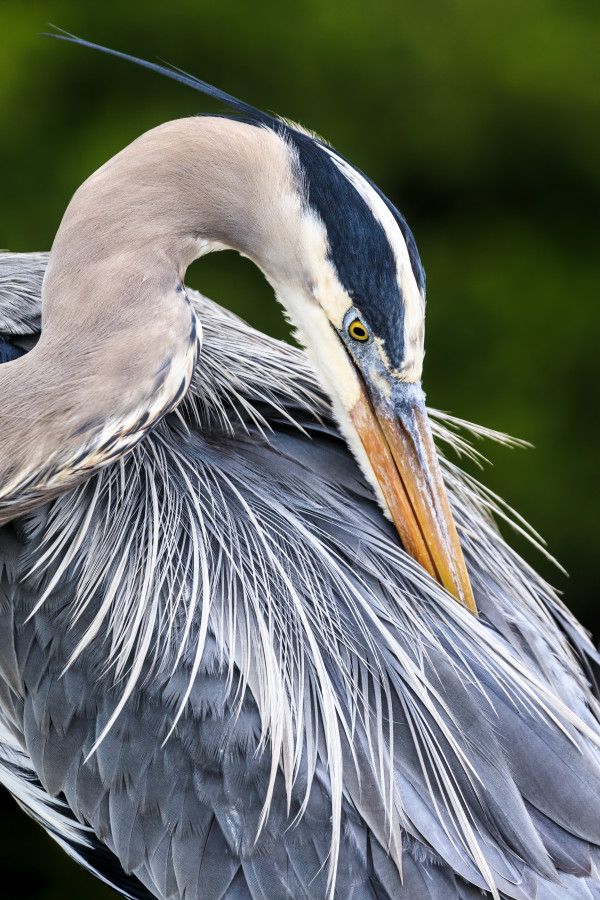 Great Blue Heron (Unframed photograph) by Bob Leggett