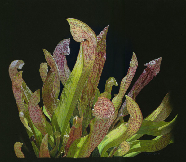 Jubilant Dance with Light (Pitcher Plant) (Framed Print) by Rhonda Nass