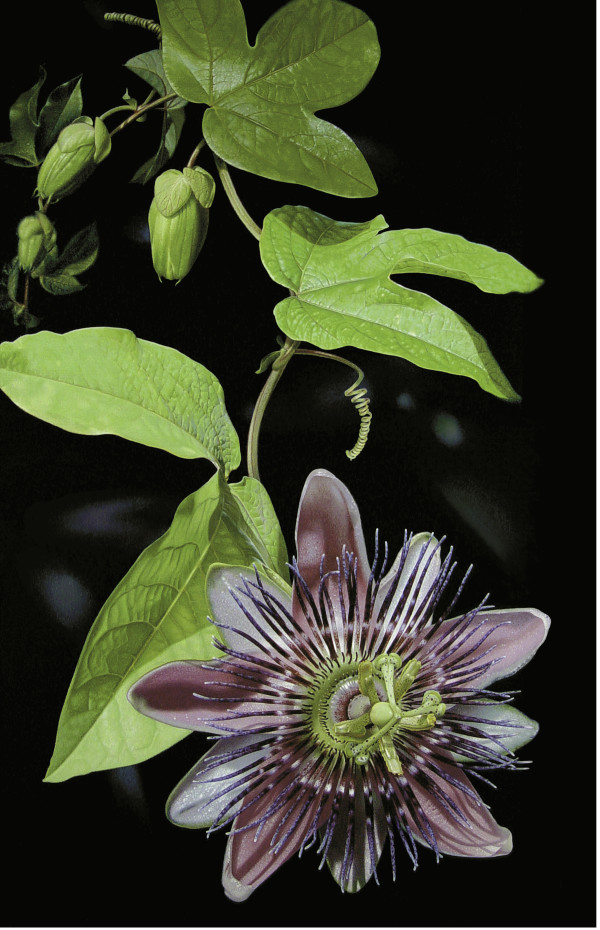 Passionflower (Unframed print) by Rhonda Nass