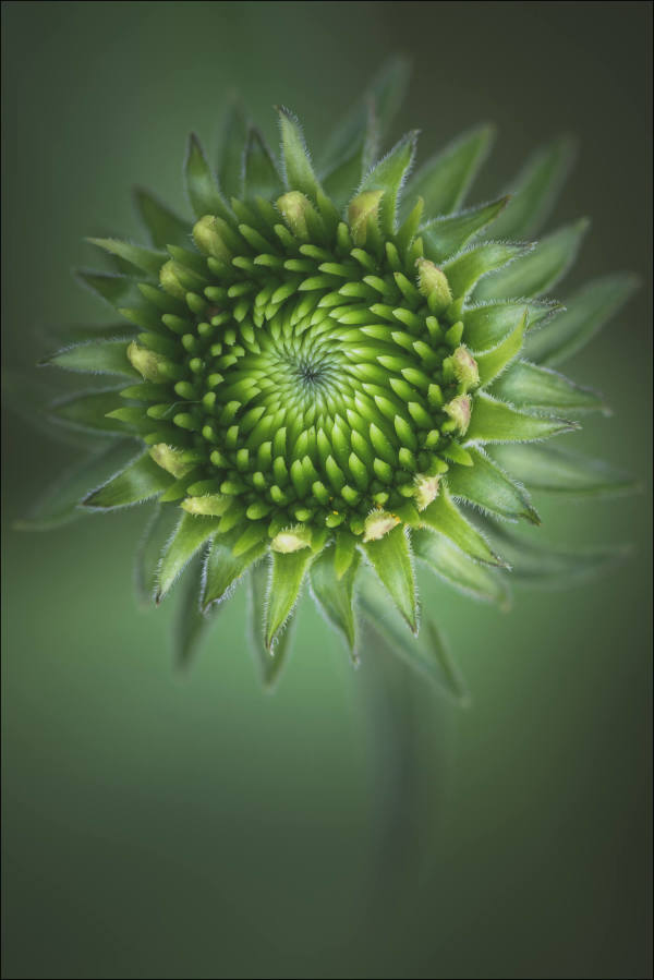 Rattlesnake Master (Framed Photo) by Bob Leggett