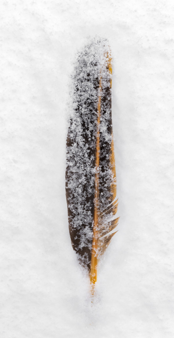 Feather in Falling Snow (Framed photograph) by Bob Leggett
