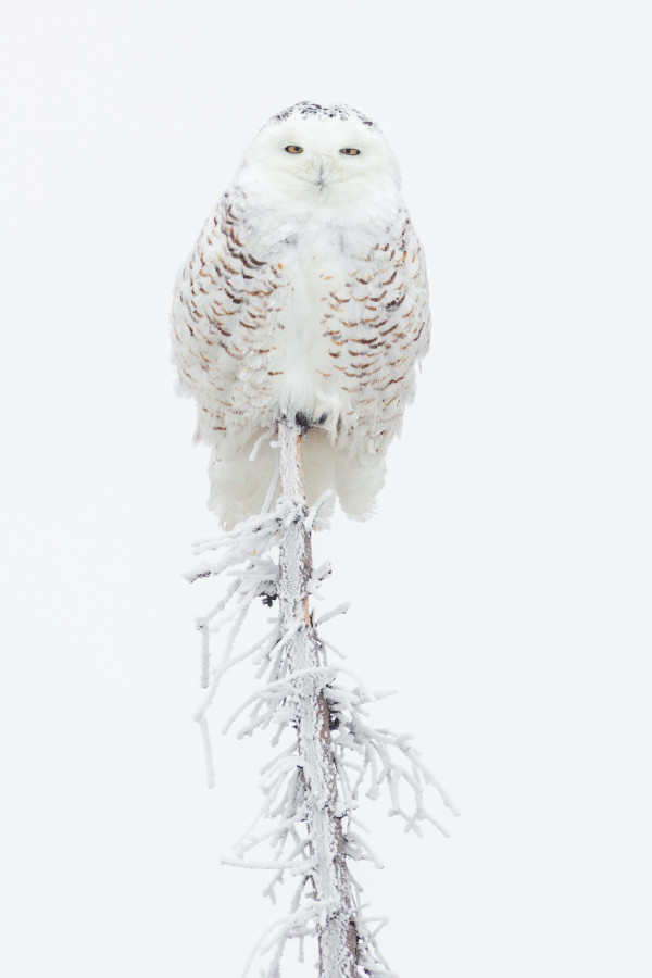 Snowy Owl (Unframed photograph) by Bob Leggett