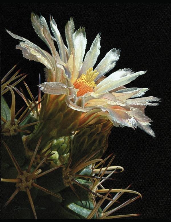 Sonoran Desert Bloom (Unframed print) by Rhonda Nass