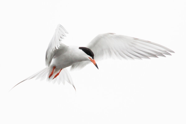 Tern (Framed Photograph) by Bob Leggett