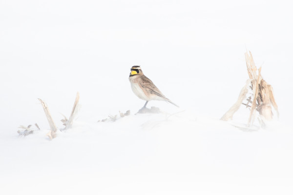 Winter Whiteout Horned Lark (Framed Photograph) by Bob Leggett