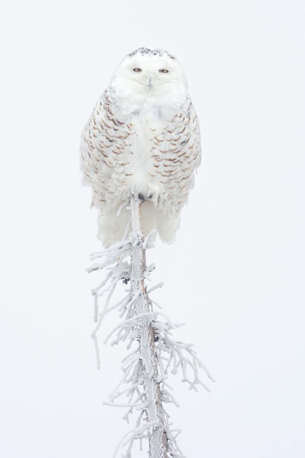 Snowy Owl (Framed Photograph) by Bob Leggett