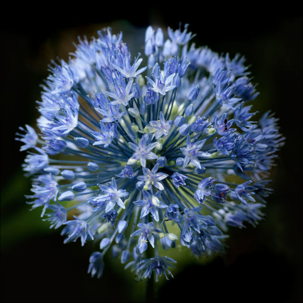 Allium (Framed Photo) by Bob Leggett