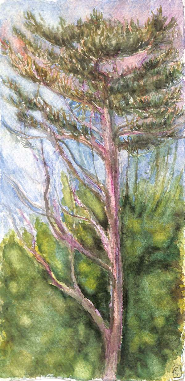Lone Pine #7  (Walmer Castle Garden) by CLARE SMITH