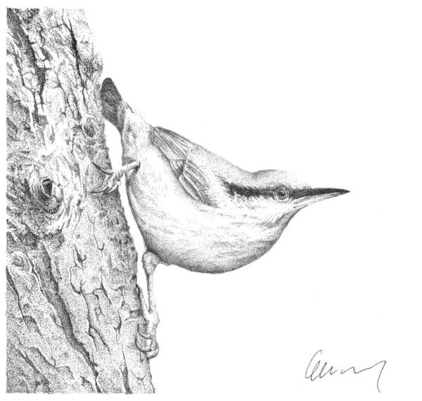 Garden Birds 1 Nuthatch by Gary Wilcockson