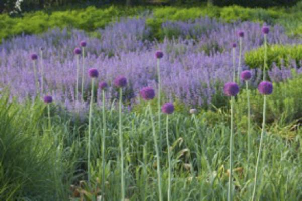 Purple Allium with Grasses by Abhi Ganju