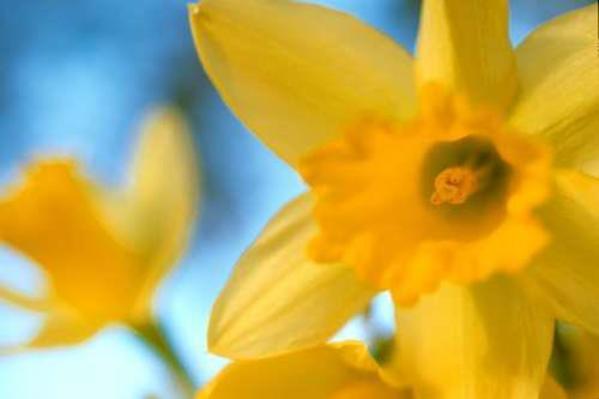 Daffodils by Karin Connolly