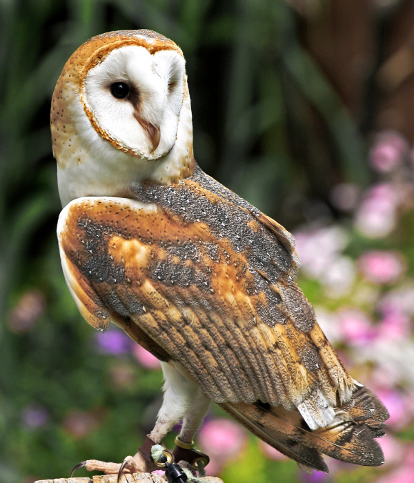 The Barn Owl by Wes Odell