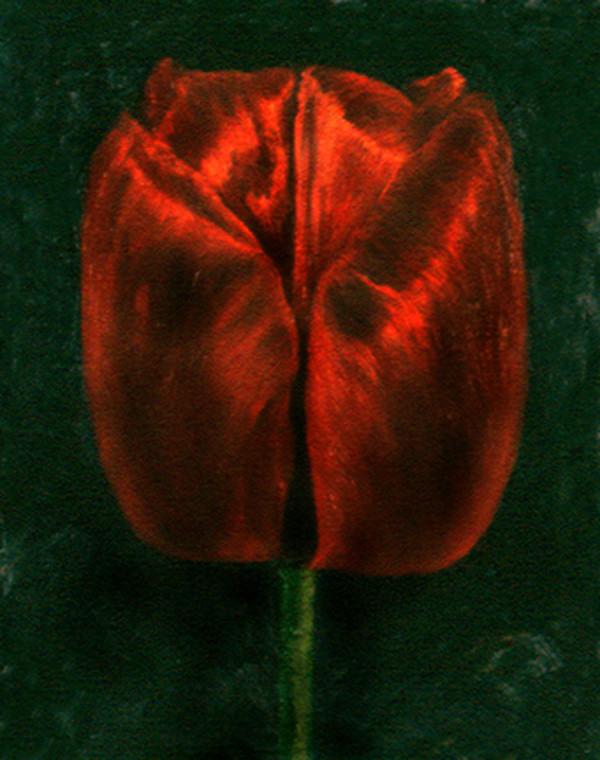 Red Tulip by Merrilyn Duzy