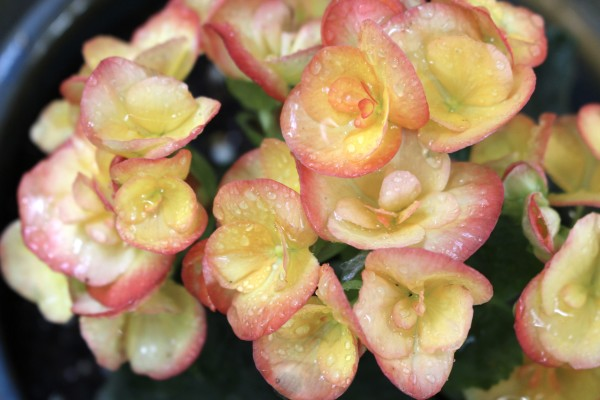 Raindrops on Roses by Y. Hope Osborn