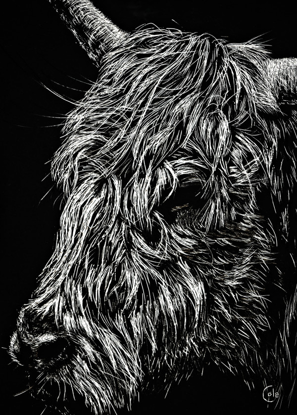West Highland Cow by Nathan Cole