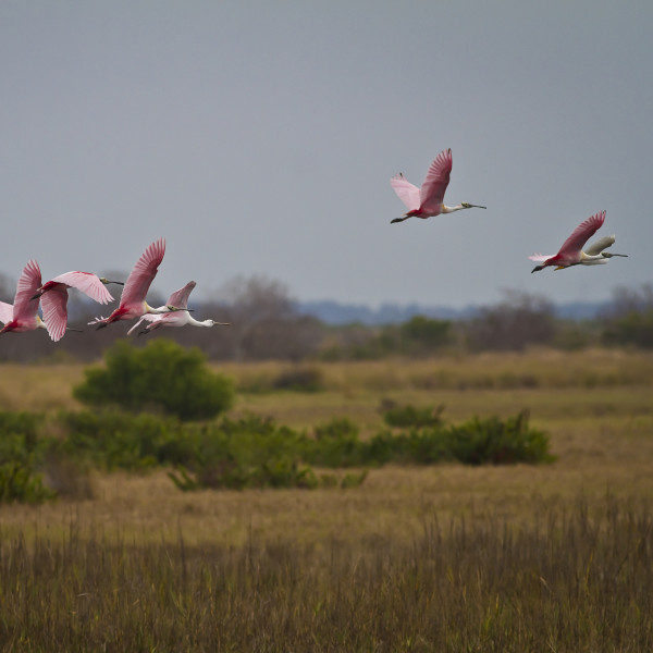 Roseate Spoonbills by Rene Griffith
