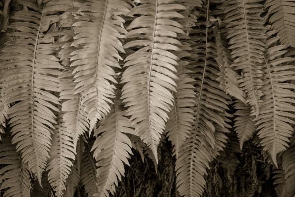 California ferns by Kelly Sinclair