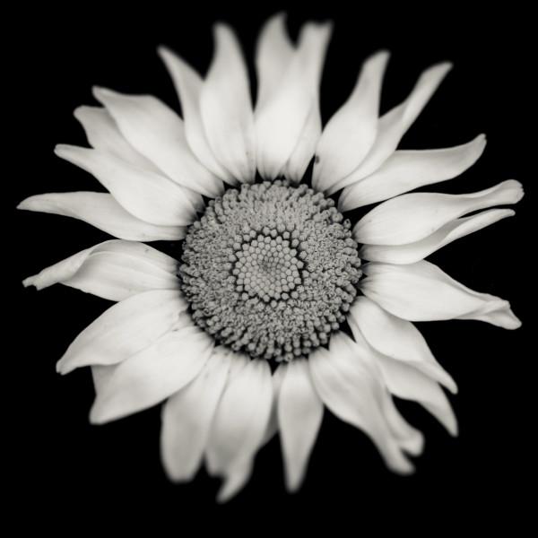 Daisy by Kelly Sinclair