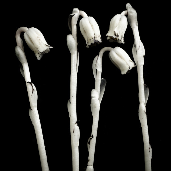 Monotropa uniflora-4 by Kelly Sinclair