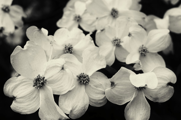 Dogwood by Kelly Sinclair