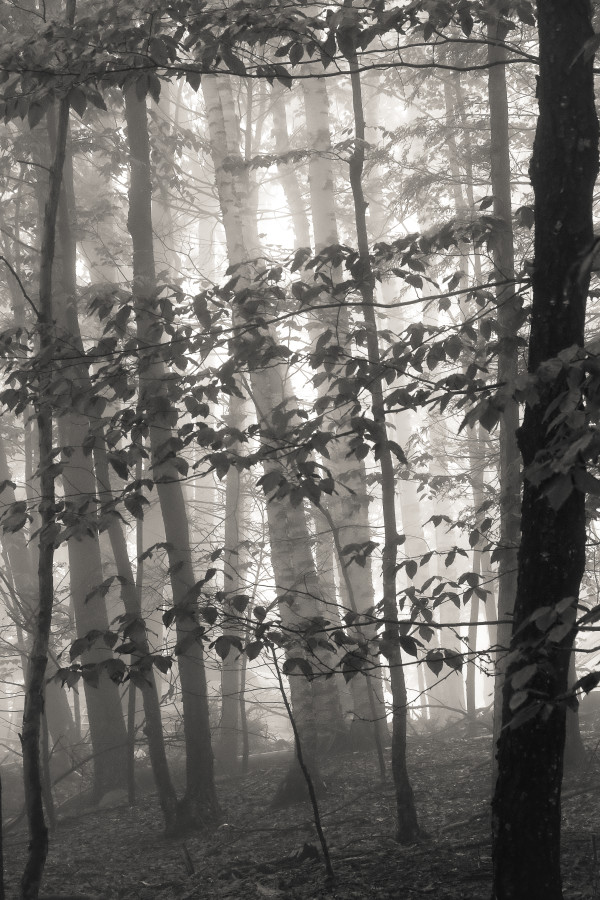 Foggy Woods, Summer morning by Kelly Sinclair