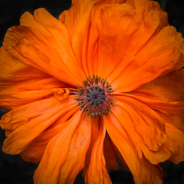 Poppy perfection by Kelly Sinclair