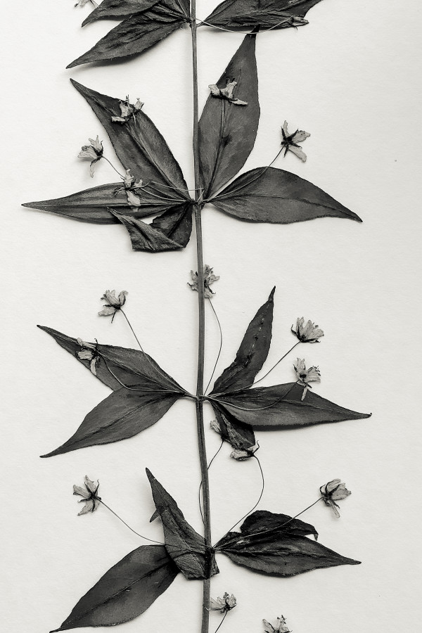 pressed flowers by Kelly Sinclair