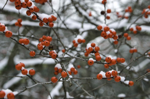 Winter Berries by Kelly Sinclair