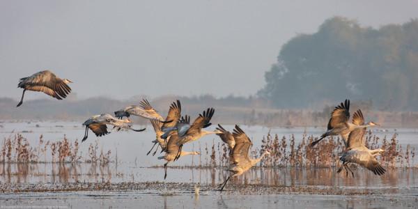 Taking Flight, Sandhill Cranes by G Dan Mitchell