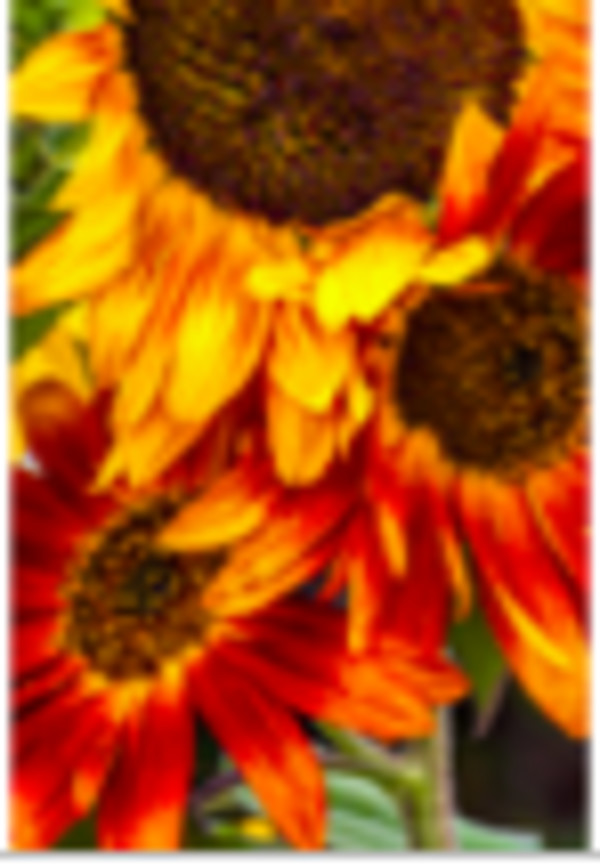 Three Sunflowers by Patricia Emerson Mitchell