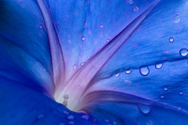 Blue Morning Glory by Patricia Emerson Mitchell