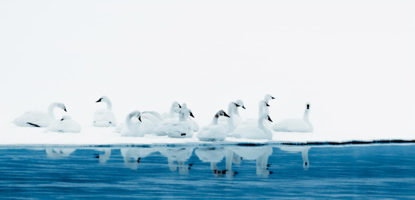 Winter Swans by Connie McClaran