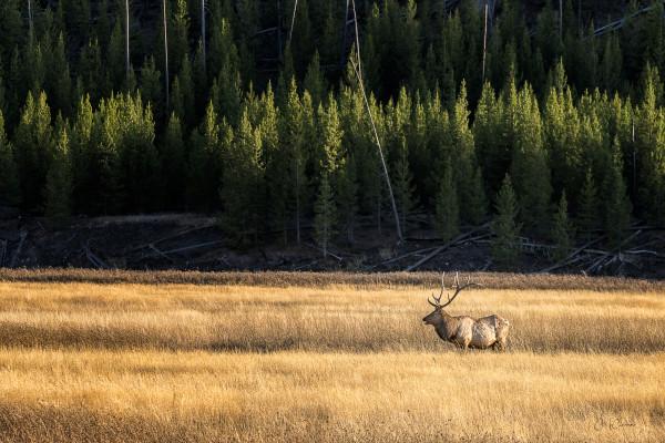 Yellowstone Elk by Connie McClaran