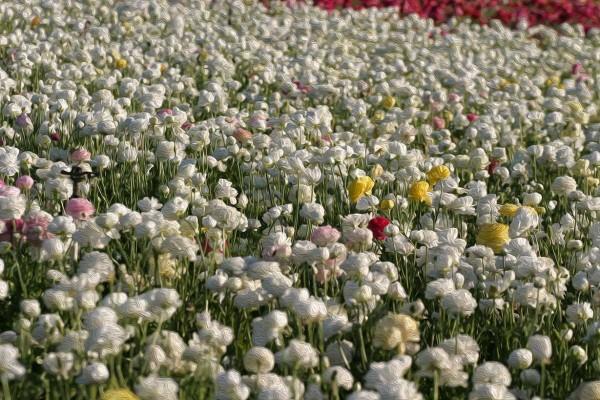 White Flower Field by Bob Kahn