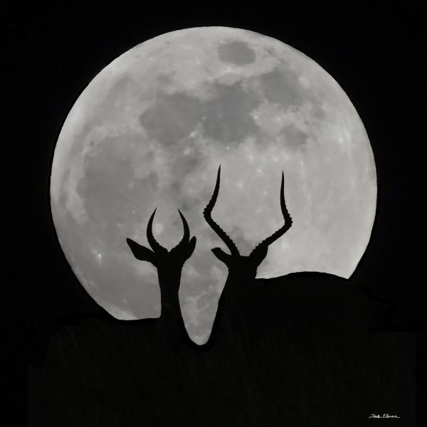 Antelope Moon by teak elmore
