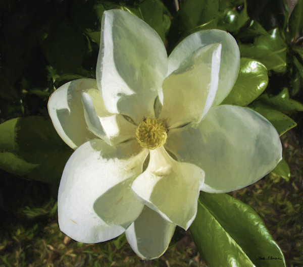 Magnificent Magnolia by teak elmore