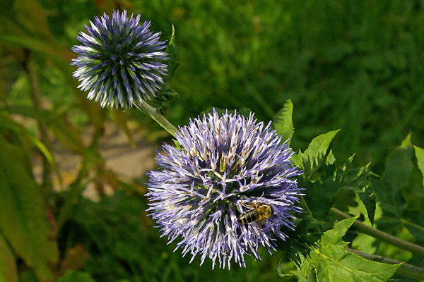 Blue Thistle with Bee, Summer by Rodney Buxton