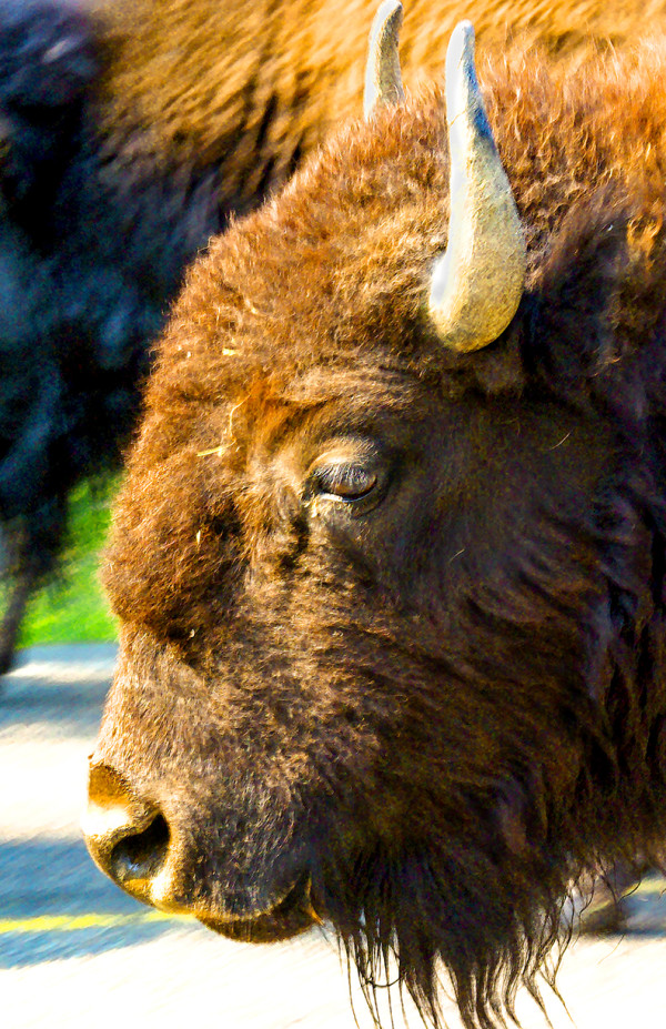 Bison, Up Close and Personal by Rodney Buxton